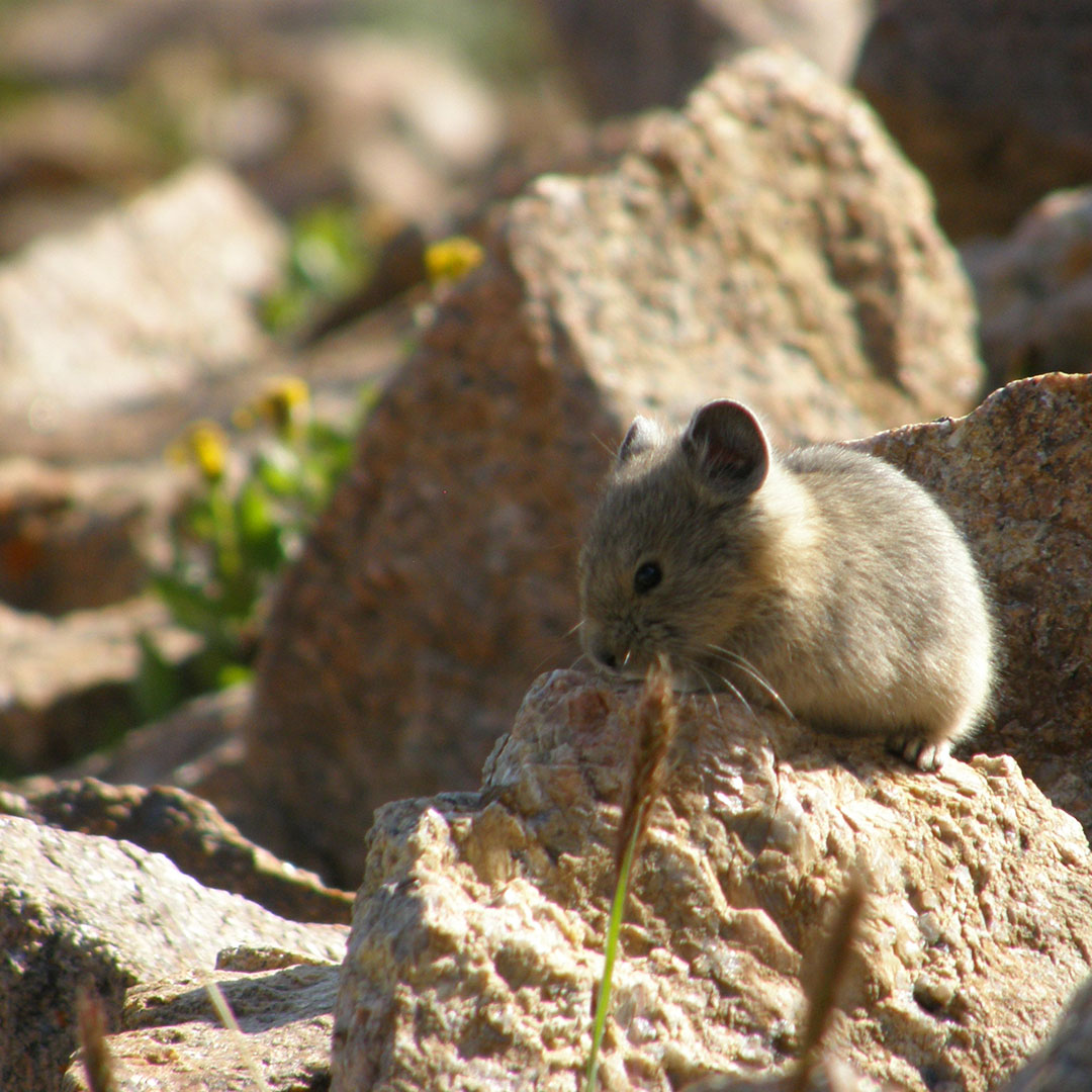 Pika juvenile, courtesy of Bob Zaparanick